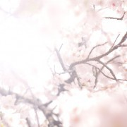 大人の桜デート決定版!記念日におすすめの東京厳選お花見スポット